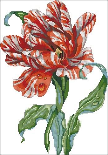 Striped Parrot Tulip