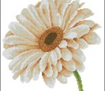 African Daisy In Close-Up