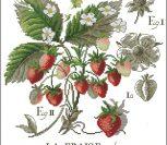L'etude aux fraises