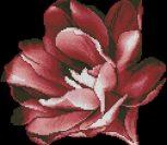 Голландский тюльпан