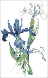 Dutch Irise