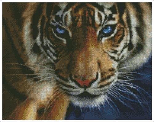 Тигр голубоглазый