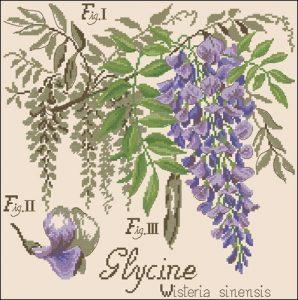 La glycine. Etudes de Botanigue