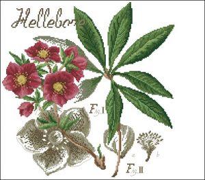 Flower&shadow-Hellebore