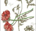 Мак полевой (ботаническая серия)